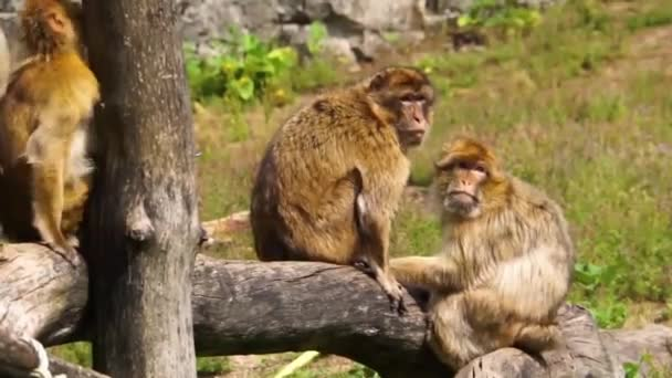 group of barbary macaques together, social animal structures, endangered animal specie from Africa