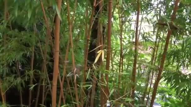 Bamboo forest with many stems and leaves, nature background video, Asian Garden foliage