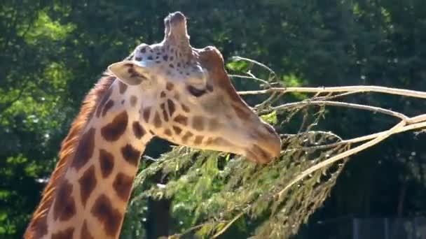 Rothschilds giraffe eating leaves from a branch, zoo animal feeding, Endangered animal specie from Africa