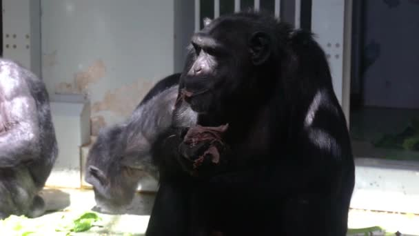 closeup of a chimpanzee eating food, zoo animal feeding, Common adult chimp, Endangered animal specie from Africa