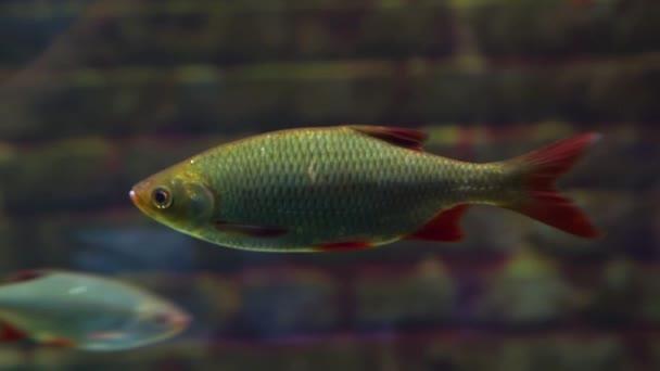 zaostřená ze společné bažky, sladkovodní ryby z Eurasie
