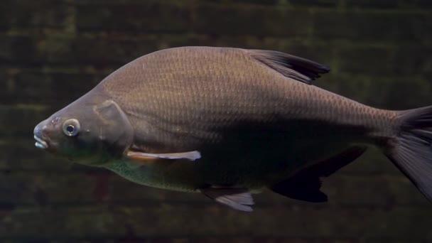 blízkost velké společné pražské koupaliště, lidové kapra z Evropy, čerstvé vodní ryby