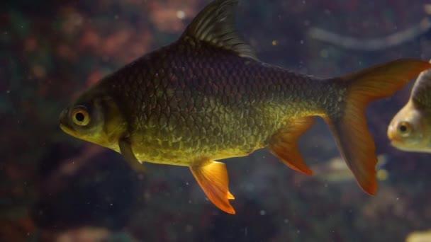 plechový osten v šatně, Nádherná tropická ryba v Asii, populární tropický akvarijní mazlíček