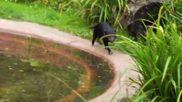 detailní záběr tasmánského ďábla pobíhajícího kolem, zpomalený běh, tropický marsupial, ohrožený živočišný druh z Tasmánie v Austrálii