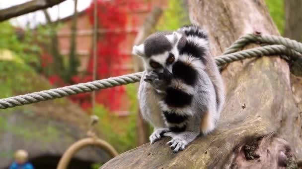 entzückende Nahaufnahme eines Ringschwanzmaki, der eine Nuss frisst, Primaten-Diät, gefährdete Tierart aus Madagaskar