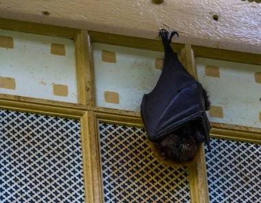 closeup of a rodrigues flying fox hanging on the ceiling while sleeping, tropical mega bat, Endangered animal specie from Africa