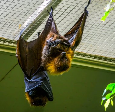 closeup of a rodrigues flying fox on the ceiling, tropical mega bat, Endangered animal specie from Africa