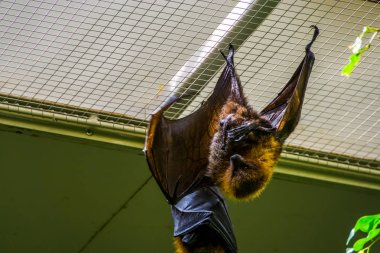 rodrigues flying fox hanging on the ceiling in closeup, Tropical mega bat, Endangered animal specie from Africa