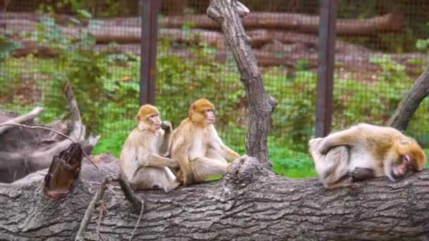 group of barbary macaques sitting on a tree log together, social animal behavior, Endangered animal specie from Africa