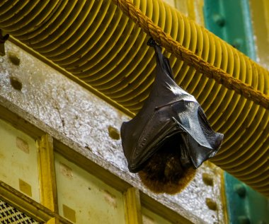 closeup of a Rodrigues flying fox hanging on a rope while sleeping, tropical mega bat, Endangered animal specie from Africa