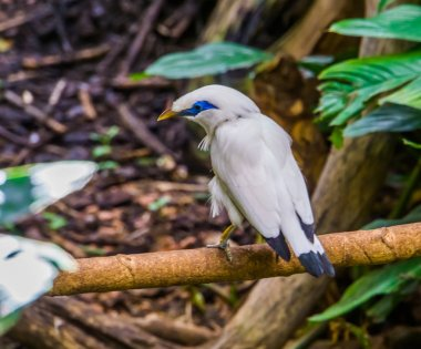 closeup of a bali myna starling sitting on a branch, tropical critically endangered bird specie from Indonesia
