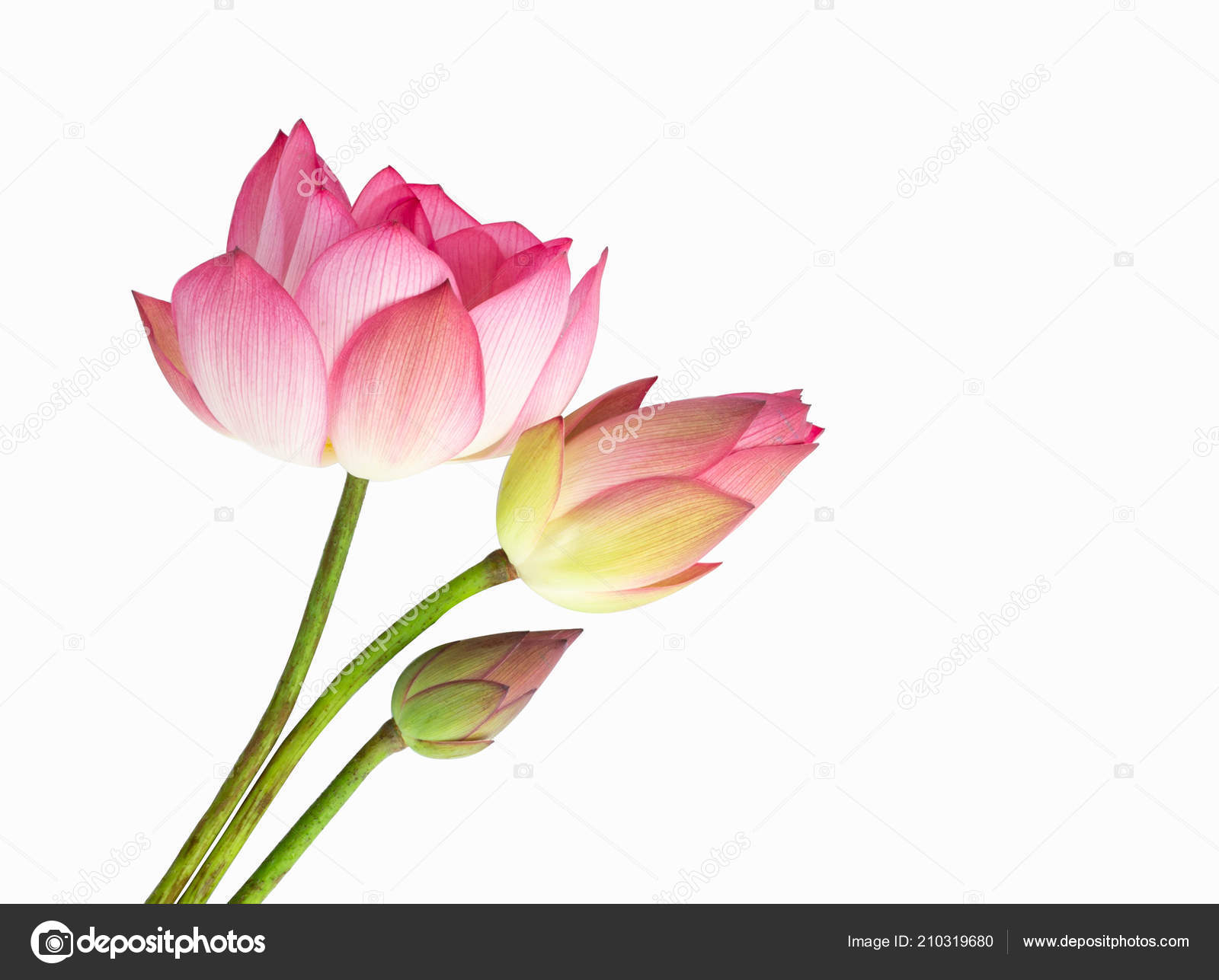 Pink Lotus Flower Bouquet Isolated White Background Stock Photo