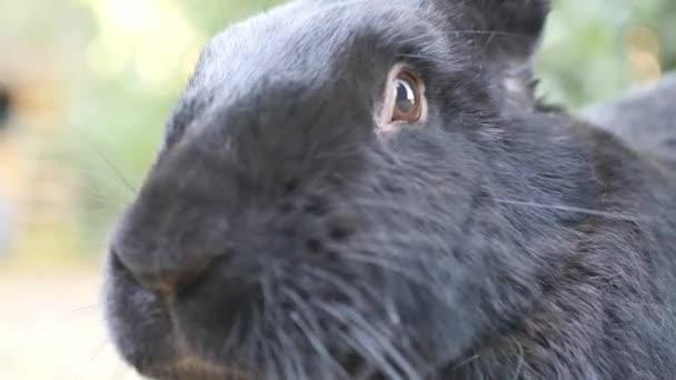 Porträt einer schwarzen flämischen Riesenkaninchen. Die flämischen Riesenkaninchen ist ein sehr großer Rassen von Hauskaninchen gilt als die größte Rasse der Arten