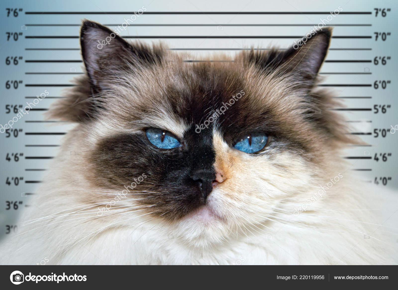 Blue Eyes White Black Ragdoll Cat Portrait Police Mugshot Line Stock Photo C Izanbar 220119956