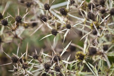 Dried Thistle close up