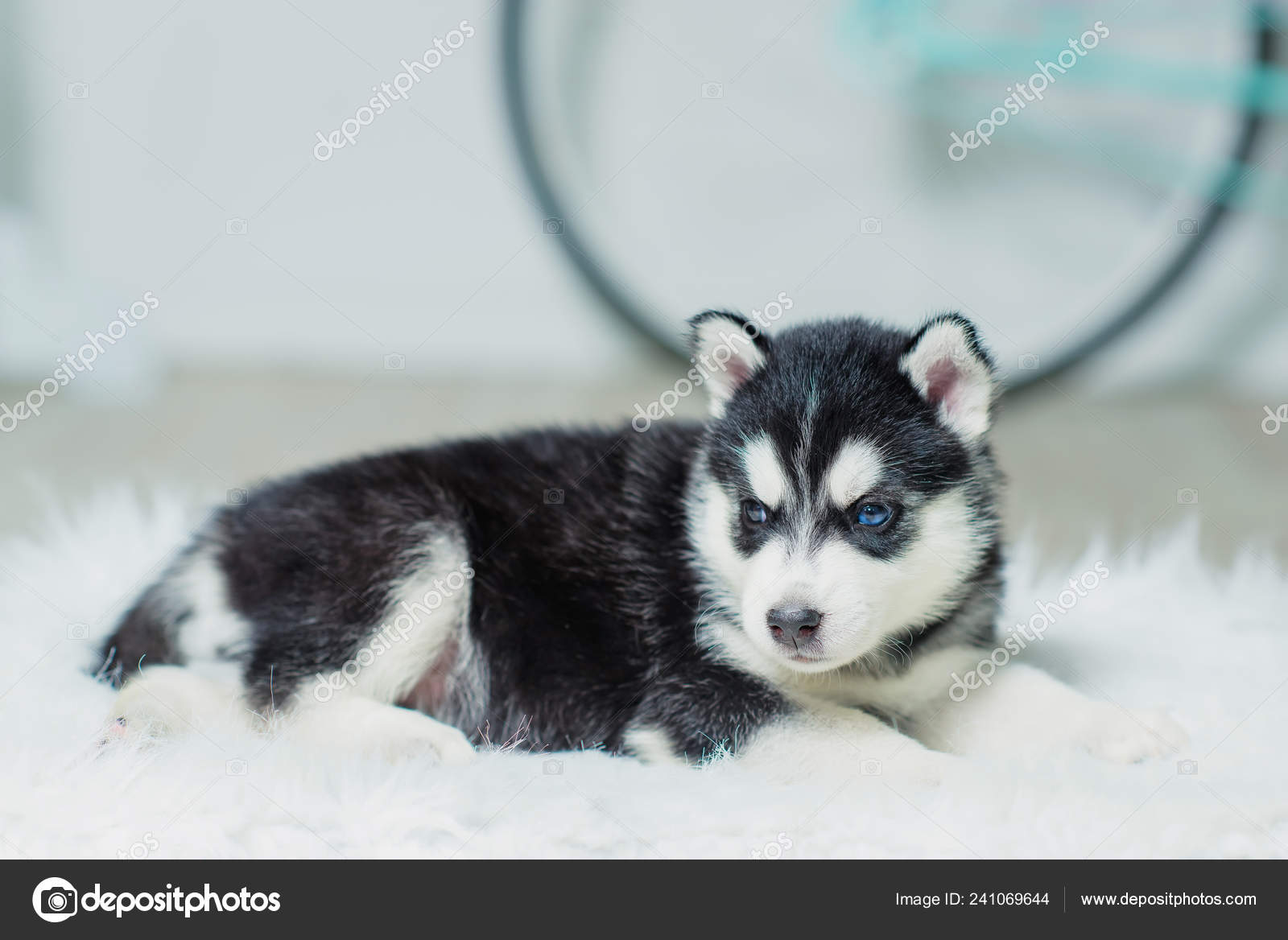 Husky Puppy Sitting White Wall Background Puppy Black White Color Stock Photo C Kinderkz 241069644