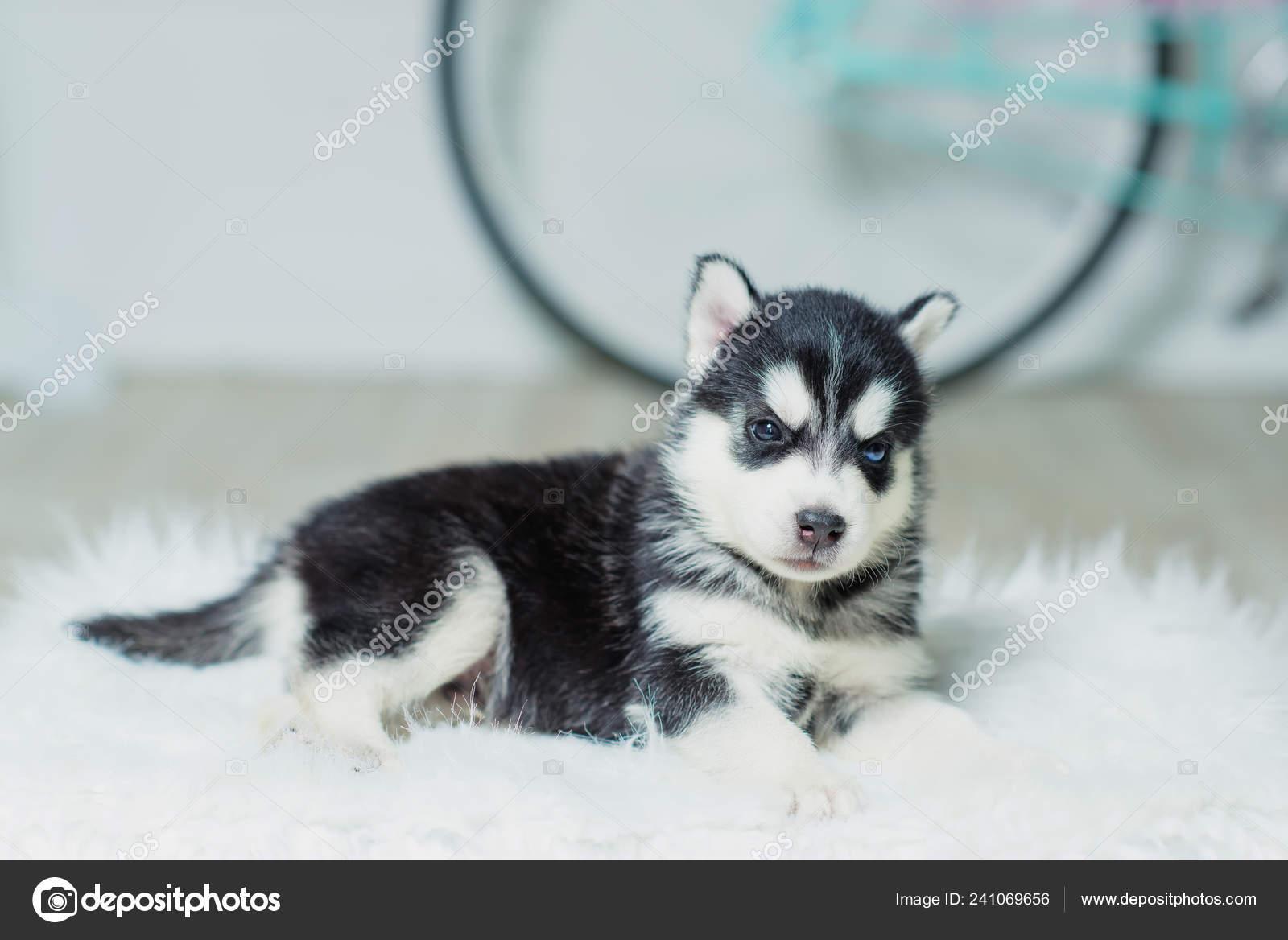 Husky Puppy Sitting White Wall Background Puppy Black White Color Stock Photo C Kinderkz 241069656