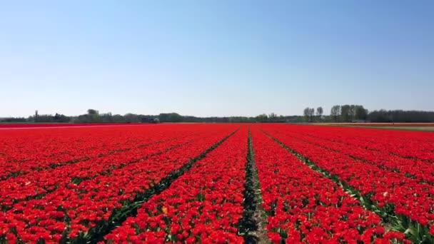 Letecký pohled na Tulipán-pole na jaře, Holandsko, Nizozemsko