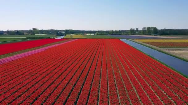 Luftaufnahme von Tulpenzwiebelfeldern im Frühling, Holland, den Niederlanden