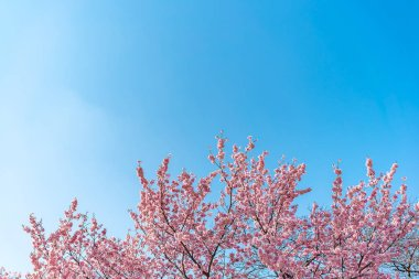Cherry blossom (sakura) with birds under the blue sky in the Shinjuku Gyo-en Park in Tokyo of Japan. A good place for vocation in spring.