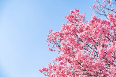 Cherry blossom (sakura) with birds under the blue sky in the Shi