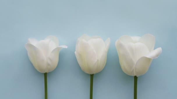 Tři bílé tulipány na světle modré pozadí, time Lapse