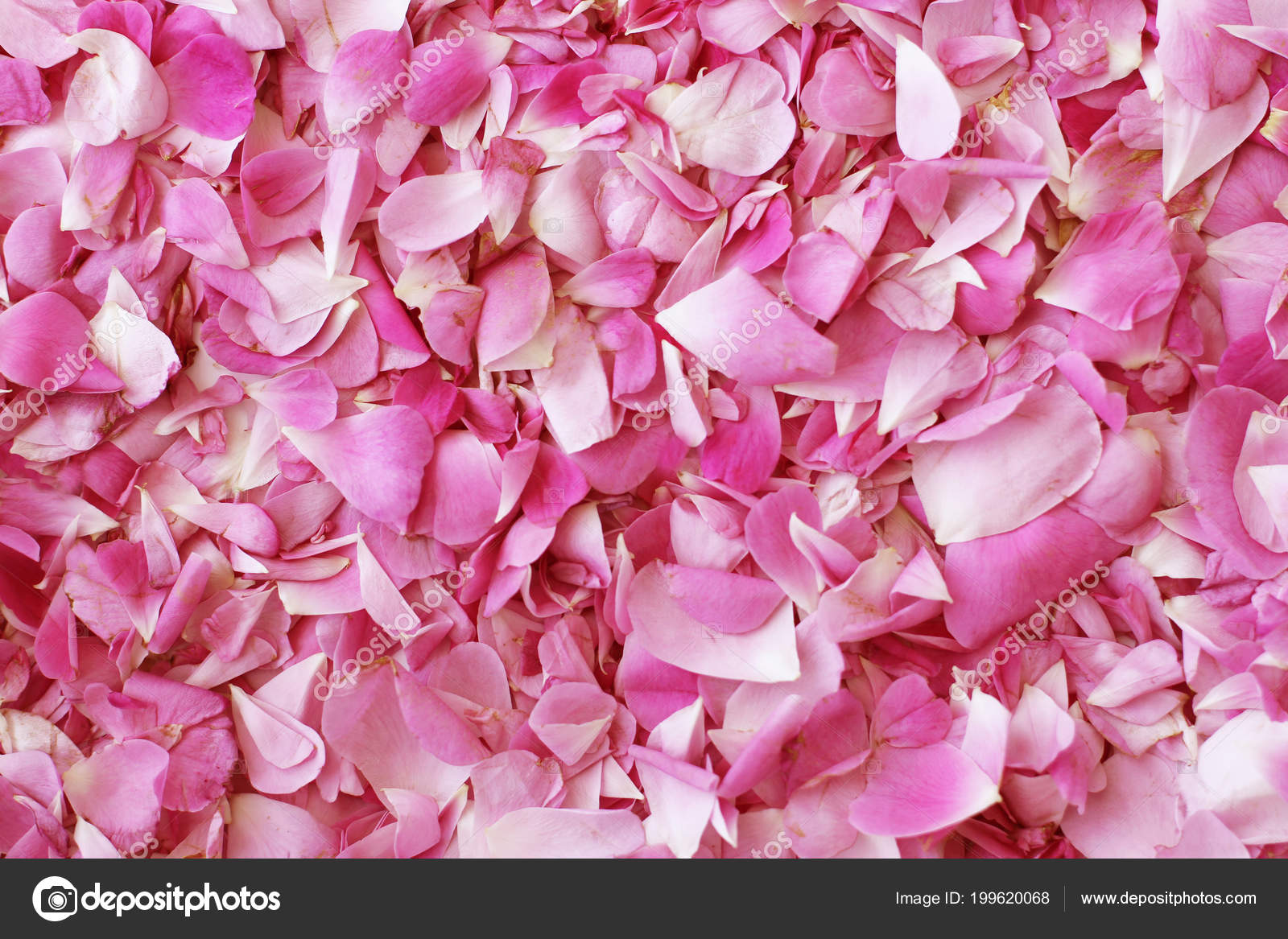 Petali Colore Rosa Della Priorità Bassa Delle Rose Tea — Foto Stock ...