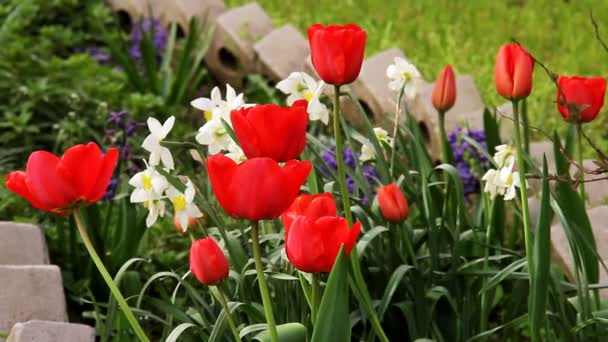 Blooming tulips and flowers in flowerbed  in spring