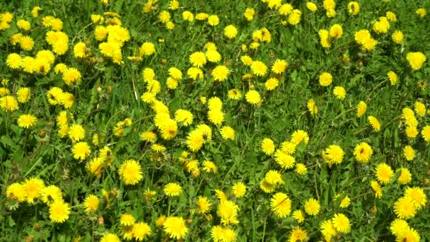 Včely a čmelky sbírají na zelené louce kačllion nektar, žluté květiny kvetou. Kvetoucí žluté dandelii.
