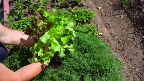 Zelený život. zelený zahradní petržel, Dill a hlávkový salát. Výběr zelení ze zahrady.