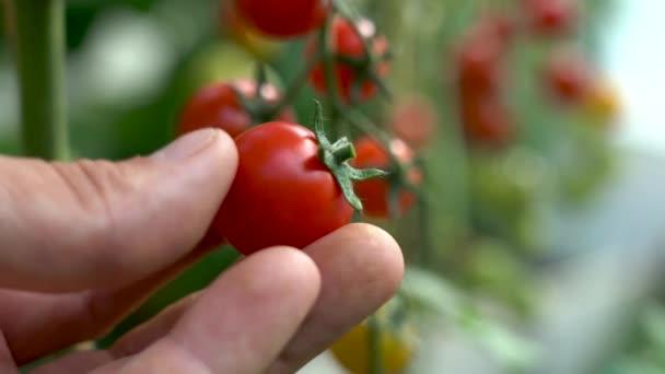 Rajče na doteku větve. Farmář si prohlíží úrodu rajčat. Červená zralá organická rajčata na větvi. Mužská ruka se dotýká zralých rajčat. Ekologické zemědělství, zeleninová zahrada