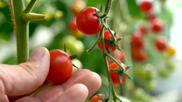 Bauer inspiziert seine Tomatenernte. Rote reife Bio-Tomaten auf dem Zweig. Männliche Hand berührt reife Tomaten. Biologischer Landbau, Gemüsegarten