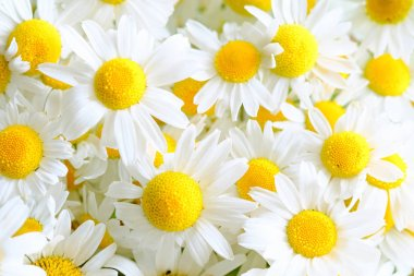 Background from meadow chamomile blossoms