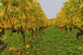 Zemědělství a pád barvy Švýcarska. Krásné podzimní krajina s barevné vinice. Vesnice nedaleko města Lausanne, Kanton Vaud