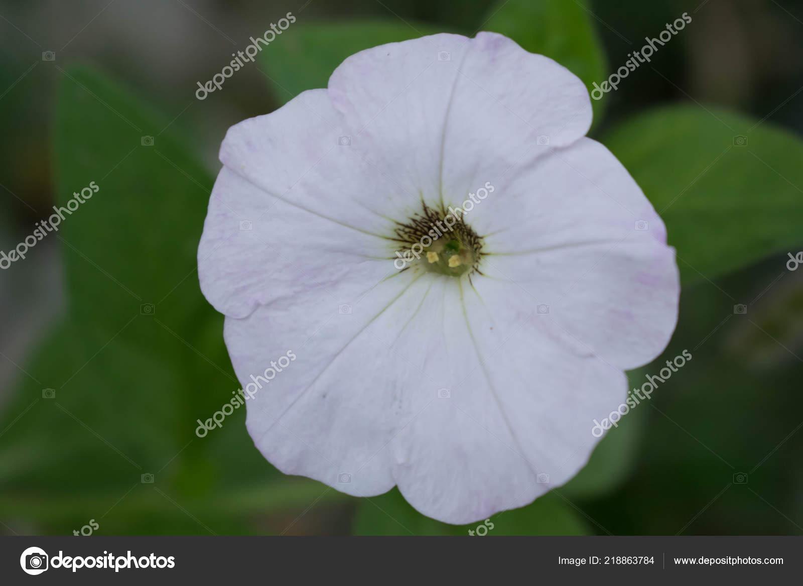 Petunia Flower Different Colors Garden Plant Photoshop Design