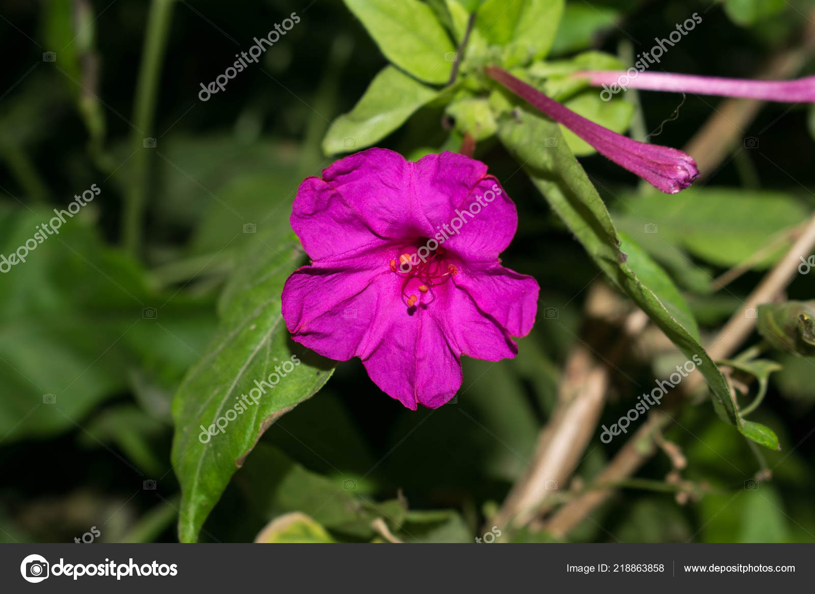 Petunia Flower Different Colors Garden Plant Photoshop Design