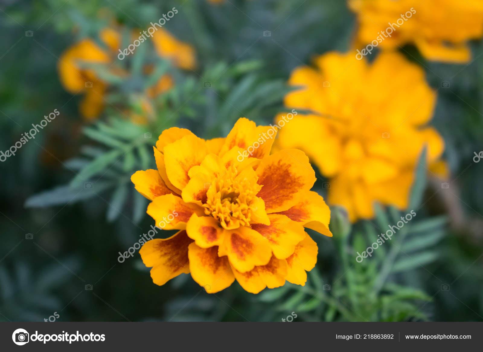 Soucis Marguerites Jaunes Fleurs Poussent Dans Jardin