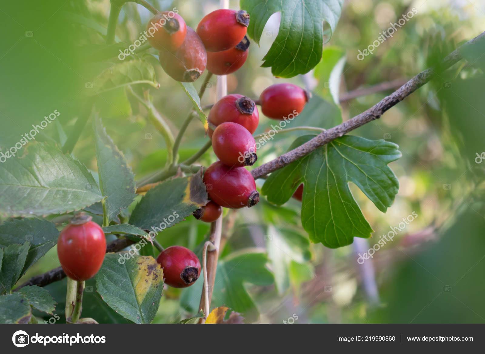 Rose Musquee Plante Medicinale Contient Grand Nombre Vitamines
