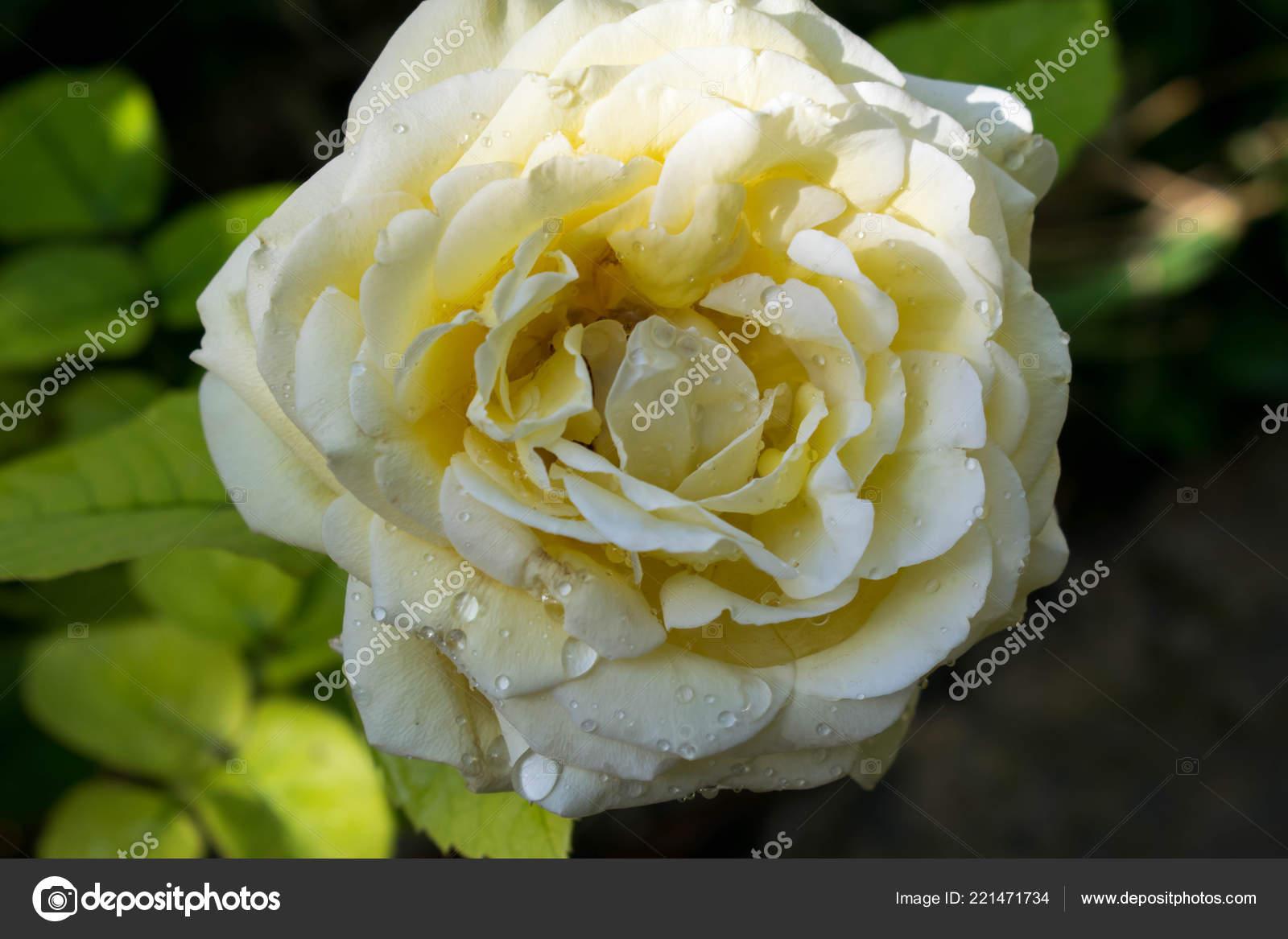Carta Da Parati Rosa Bianca : Bella bianco rosa grandi dimensioni chiuda disegno sfondo carta