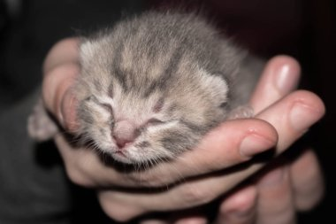 newborn kitten with closed eyes in his hands on a dark background for design