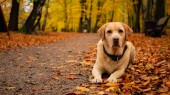 White adult labrador retriever on the leaves in autumn colorful park.
