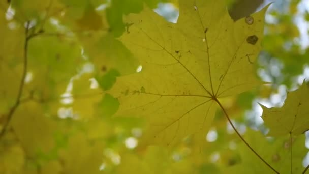 Nature background. Maple leaves of autumn forest without sun. Looking up. Green and yellow.