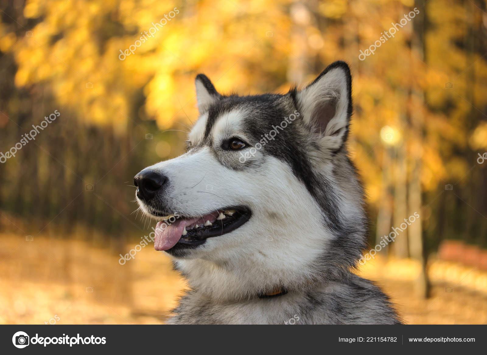 Psí plemeno Aljašský malamut podobně jako vlk v podzimním lese na pozadí  Oranžovo žluté listy — Fotografie od natgai83 gmail.com d4e2aacca7