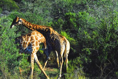 While on safari in South Africa, we heard a loud thumping crash in the thorn bushes.  Our guide quickly took us to where two young male giraffe were butting heads and necks.