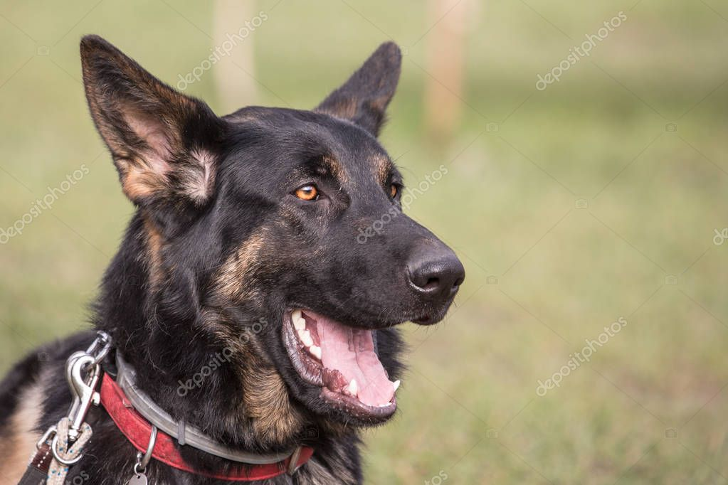 German shephed dog living in belgium