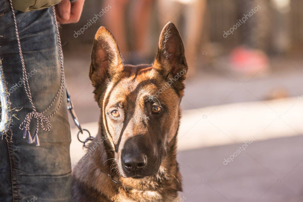 Portrait of german shepherd dog living in belgium