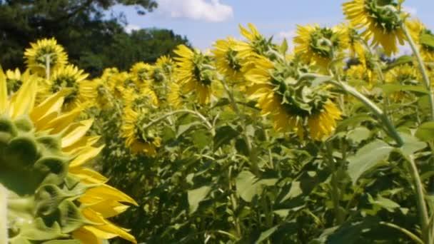 Detail zadní části slunečnice a včela na slunečnice