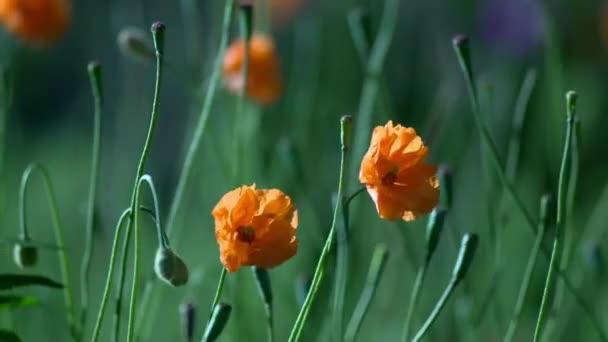 Close-up poppy flowers