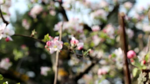pink flower apple tree branch with buds and flowers