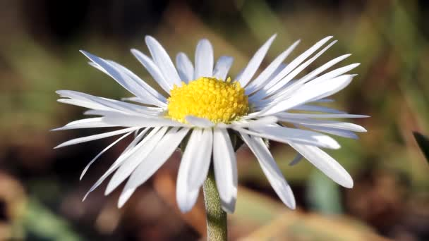 wild fly pollinating a bright white and yellow daisy